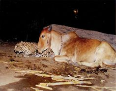 This young leopard, probably motherless, sought maternal comfort with this calf in India.