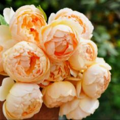 David Austin's Jude the Obscure rose was named after the Thomas Hardy novel. Mine look like this in the spring and late autumn cool weather. They are whiter in the summer. LY