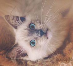#ragdoll #cat #catlovers #blueeyes #eyes #siamese #kitten #animal #portrait #bigeyes #dreams