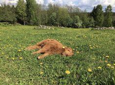 Highland Cattle Of Saarela. Just enjoying an afternoon snooze. Cute Creatures, Beautiful Creatures, Cute Baby Animals, Farm Animals, Wild Animals, Fluffy Cows, Highland Cattle, Baby Cows, Baby Elephants