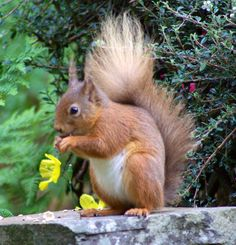 Red Squirrel..
