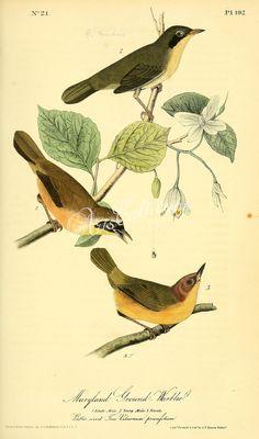 Maryland Ground-Warbler      ...