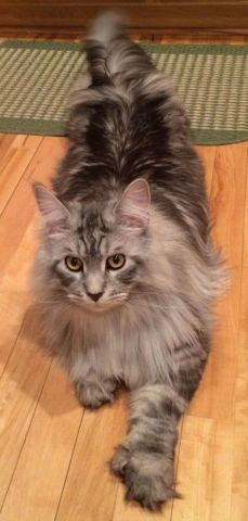 Maine Coon -Look at those paws!