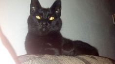 "From Jennifer... ""This is my black cat Oliver. I adopted him a month ago & boy is he a talker! Everywhere I go in my house he follows. I think it may be because only after a month & he is spoiled. Whatever is his human to do?""  For the month of October, Cat Faeries is celebrating black cats. We will post pictures of our customer's cuties and donate 1% of our October sales to several black cat rescue groups. You can find out more at www.catfaeries.com/blog/celebrating-black-cats-in-october/"