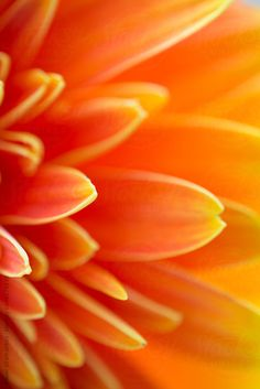 Orange Flower by PavelGr - Pavel Gramatikov | Stocksy United