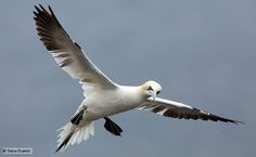 Gannets (Morus bassanus) are magnificent seabirds, whose British population occupies many of Scotland's offshore islands during the breeding season. Between March and September Britain is in fact home to nearly 70% of the world's breeding gannet population, making their habitat internationally important.
