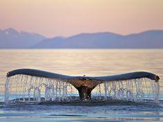 Humpback Whale Fredrick Sound Alaska