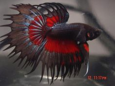 Crowntail Betta Fish | Betta Fish: Multicolor Crowntail