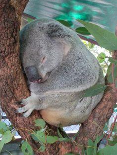 A koala sleeps at the Bungalow Bay Koala Village near Horseshoe Bay on Magnetic Island, North Queensland, Australia. Horseshoe Bay, Fraser Island, Queensland Australia, Cairns, Brisbane, Bungalow, Bear, Animals, Animaux