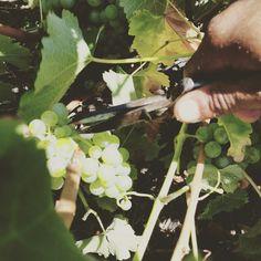 Harvest 2017 Wines, Harvest, Bubbles, Fruit
