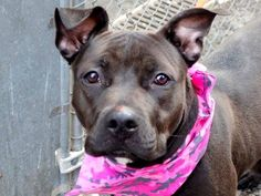 Manhattan Center LAINNIE - A1028516 FEMALE, BLACK / WHITE, PIT BULL MIX, 1 yr, 6 mos STRAY - STRAY WAIT, NO HOLD Reason STRAY Intake condition UNSPECIFIE Intake Date 02/22/2015, https://www.facebook.com/photo.php?fbid=968402643172615