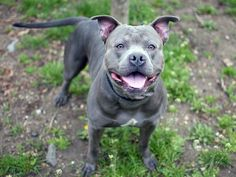 TO BE DESTROYED 5/13/14 Manhattan Center -P  My name is EIRAND. My Animal ID # is A0998976. I am a male gray and white pit bull mix. The shelter thinks I am about 2 YEARS   I came in the shelter as a STRAY on 05/07/2014 from NY 10457, owner surrender reason stated was STRAY.