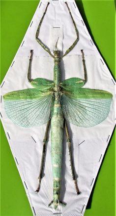 Huge Winged Stick Bug Eurycnema versirubra Female (Green) Spread FAST FROM USA