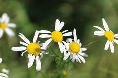 Edible Flowering Plants to Brew Tea