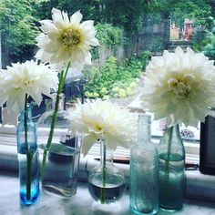 snow country dahlias