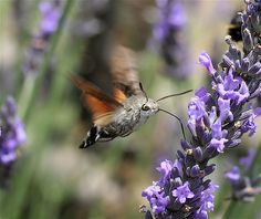 Hummingbird Hawk Moth ( Macroglossum stellatarum) by IronChris, wikipedia: Its long proboscis and its hovering behaviour, accompanied by an audible humming noise, make it look remarkably like a hummingbird while feeding on flowers. #Moth #Hummingbird_Hawk_Moth