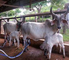 """""""Tem Guzerá produzindo muito leite em Goiás!!   Foto do técnico da ABCZ, Russel Paiva, na Fazenda Guapeva, do criador Aureliano Aguiar Mesquita.  #guzera…"""""""