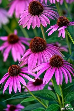 Purple Cone flower aka Echinacea. Another one that is likely to just end up at the wood edge for pollinators to enjoy.