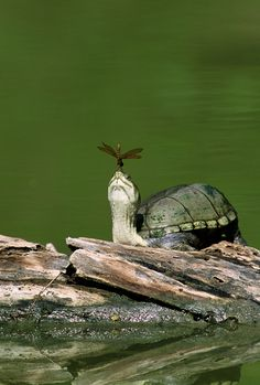 Turtle and dragonfly , what a scene - Imgur