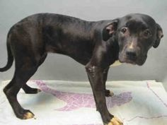BROOKLYN Center ROWANDA – A1072932 FEMALE, BLACK / WHITE, AM PIT BULL TER, 6 mos OWNER SUR – EVALUATE, NO HOLD Reason TOO MANY P Intake condition EXAM REQ Intake Date 05/09/2016, From OUT OF NYC, DueOut Date 05/09/2016, I came in with Group/Litter #K16-056547. Urgent Pets on Death Row, Inc