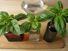 Egyetlen cserepes bazsalikomnövényből teljes tenyészetet hozhatsz létre, amely nemcsak a saját konyhád éves szükségletét fedezi, hanem még ajándékozásra is marad. Végigfotóztuk a szaporítás menetét, így...