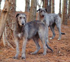 irish wolfhound | Tasottuu, mitä isompi koira, sen honkkelimmaltahan ne näyttää ...
