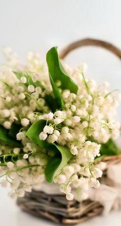 Infos und Tipps zum femininem Maiglöckchen-Duft: Das Maiglöckchen Parfum erkennen Sie am Charakter, der nur als frisch-blumig und intensiv-süß ...
