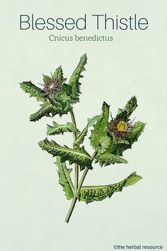 Medicinal Herb Blessed Thistle (Cnicus benedictus)