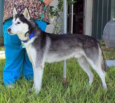 Meet another NEWLY-#RESCUED #Siberian #Husky! How can you resist these beautiful brown eyes on this handsome Husky boy? Meet KAI! He is available for #adoption in #Florida from our #dogrescue: http://www.siberrescue.com/ Please share!