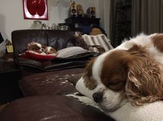 Cavalier King Charles Spaniel sisters's sleeping...