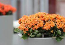 Δες 10 Φυτά που απαιτούν ελάχιστο πότισμα! Kalanchoe Blossfeldiana, Interior Design Plants, Plant Design, Colorful Plants, Unique Plants, Indoor Orchids, Indoor Plants, Gerbera Plant, Sansevieria Plant
