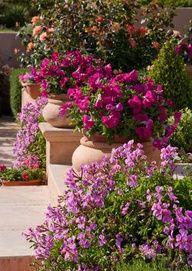 Beautiful Petunias in terracotta pots.