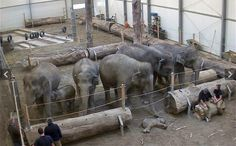 A herd of elephants say goodbye to Lola the dead elephant calf at Hellabrunn Zooin Munich, Germany. Fact: Elephants feel compassion, and are self aware. Among other higher consciousnesses.