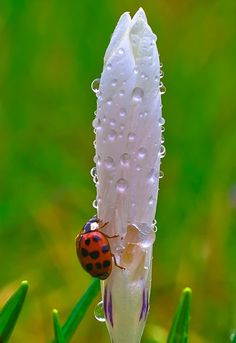 White bud and Ladybug http://beautymothernature.tumblr.com/post/48928893432/beautiful-a-lazy-crawl-after-a-love-moments