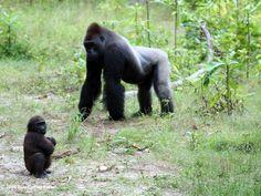 Gorilla troop #UntilYouFindMe #Africa #AfricaLove #NewAdultBooks #College #BookLove #Gorillas #Conservation #RomanceBooks #RandomHouse #AmberHart #WeNeedDiverseBooks #UntamedSeries #RainForest