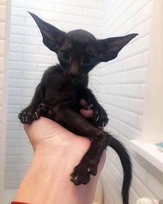 Oriental Shorthair cats are the cutest Pretty Cats, Beautiful Cats, Animals Beautiful, Cute Little Animals, Cute Funny Animals, Funny Cats, Oriental Shorthair Cats, Photo Chat, Cute Creatures