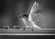 Titmouse and Peanuts - Original fine art black and white bird photography by Bob Orsillo.  Copyright (c)Bob Orsillo / http://orsillo.com - All Rights Reserved. Buy fine art black and white bird photography at www.boborsillo.com
