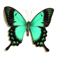 Papilio lorquinianus albertisi - Real Framed Butterflies Insects ...
