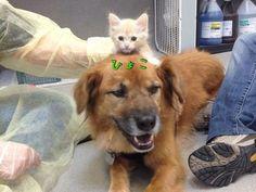 ハリケーン・カトリーナから救出された犬(オス)、子猫たちのお母さん役となる