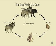 Living Well Wolves have a life cycle from when their born to when they die. Right before the little pup is born the mamma is ready for the baby to become part of the family. Ballora Fnaf, Wolf Life, Wolf Pup, Animal Crafts For Kids, Dog Memes, Life Cycles, School Projects, Animal Drawings, Mammals