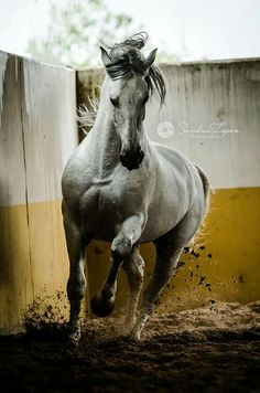 One of my favourites photos of our photoshoot in Yeguada la Yedra. Awesome and huge places, beautiful horses and very kind people there. PRE stallion Dante TF, owned by Yeguada la Yedra (Antequera, Málaga) © Sandra López