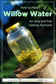 Did you know that you can make your very own rooting hormone for free? This simple willow water recipe is so fast and easy to do. A great project for kids and adults! Put away that chemical rooting compound and make this brew in just a few simple steps! Hydroponic Gardening, Hydroponics, Organic Gardening, Container Gardening, Gardening Tips, Vintage Gardening, Organic Farming, Vegetable Gardening, Diy Garden