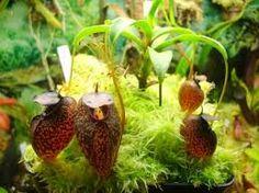 ผลการค้นหารูปภาพสำหรับ งานประกวด พืชผลการเกษตรหม้อข้าวหม้อแกงลิง