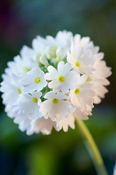 Close up of primula denticulata white