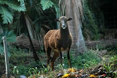 Many transplanted animals are overwhelming the ecosystem on the Hawaiian Islands...like this wild sheep.