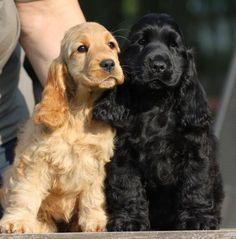 English cocker spaniel Master Breeding from Hungary, with 25 years experience and top dogs. Cute Puppies, Cute Dogs, Dogs And Puppies, Doggies, Poodle Puppies, Perro Cocker Spaniel, Black Cocker Spaniel, Animals And Pets, Cute Animals