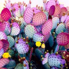 We can plant Cactus on the Garden, we can put it on indoor or outdoor area, or we can put cactus plant on the small area and make it more unique and stunning. Check our collections about Cactus Gar… Art Violet, Cactus E Suculentas, Cactus Plante, Plants Are Friends, Cactus Flower, Cacti And Succulents, Pretty Flowers, Indoor Plants, Indoor Outdoor