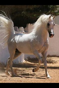 Arabian Horse Arabian Horse Show - Western Competition Egyptian Stallion Breeding Wow look at that tail!
