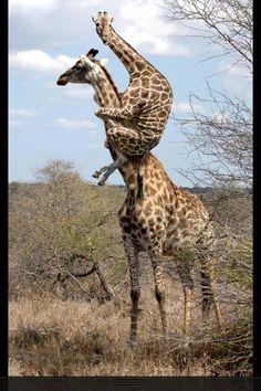 Giraffes??