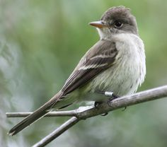 Southwestern Willow Flycatchers have lost 90-95 percent of their historic habitat and are struggling to survive. Photo: Scarlett Howell/USGS